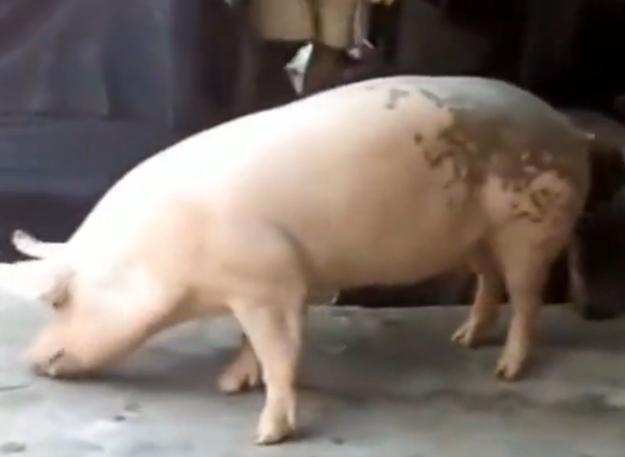 公猪进了猪圈,很兴奋