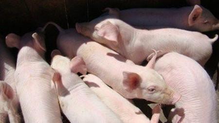 饲料与营养 | 生料喂猪八注意,增加采食促生长,减少饲料消耗