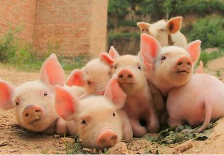 一些简单诊断猪病的方法,收藏!