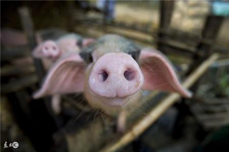 这种养猪人2017年都赔钱了,2018养猪一定注意不能犯同样的错误!