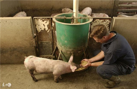 饲料能改变猪体型,有的人却还不会买饲料!
