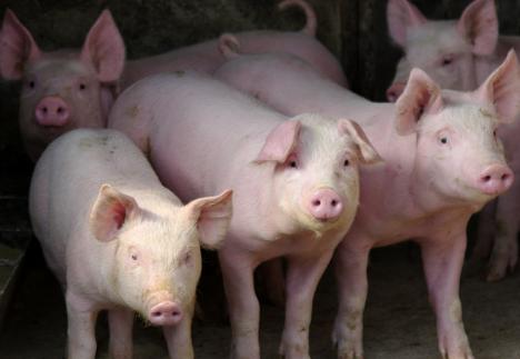 干货?养猪户如何精准判断母猪即将分娩!