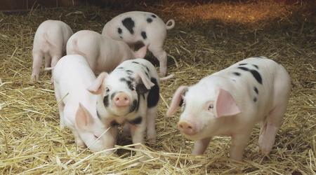 类猪饲养管理的共同原则