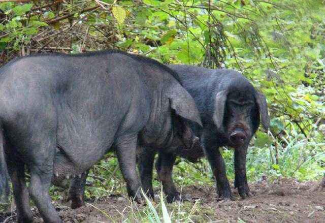 这种猪爱吃草不爱吃粮食,基因传承2300年珍稀程度堪比熊猫