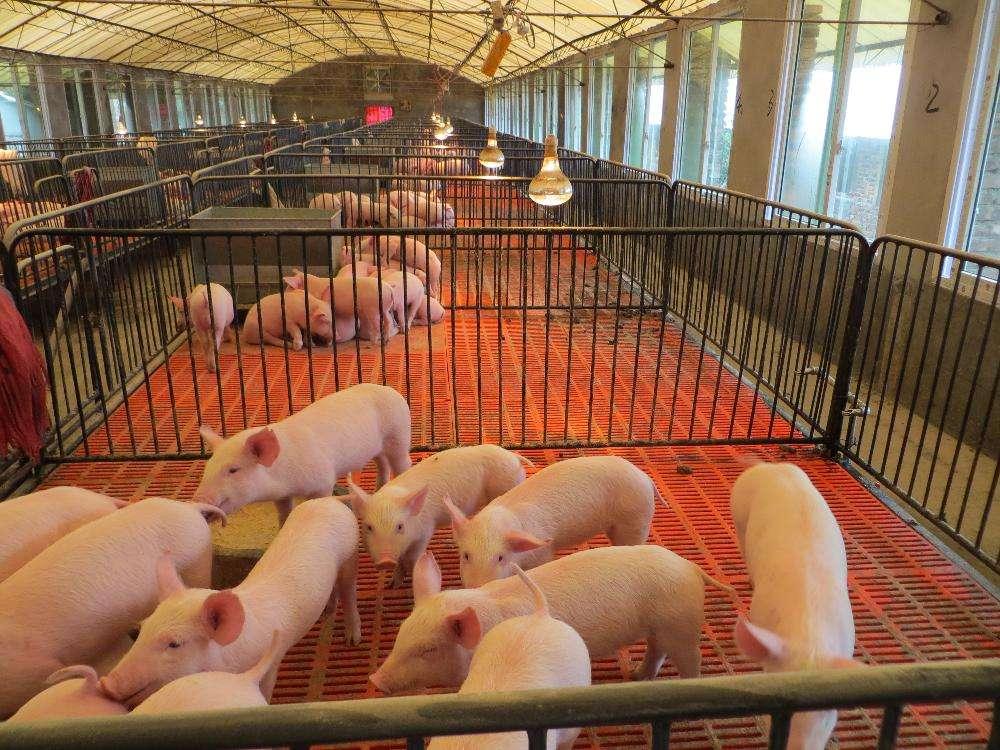 养猪场建设常见的几种形式,根据自己经济实力选择一款适合你的