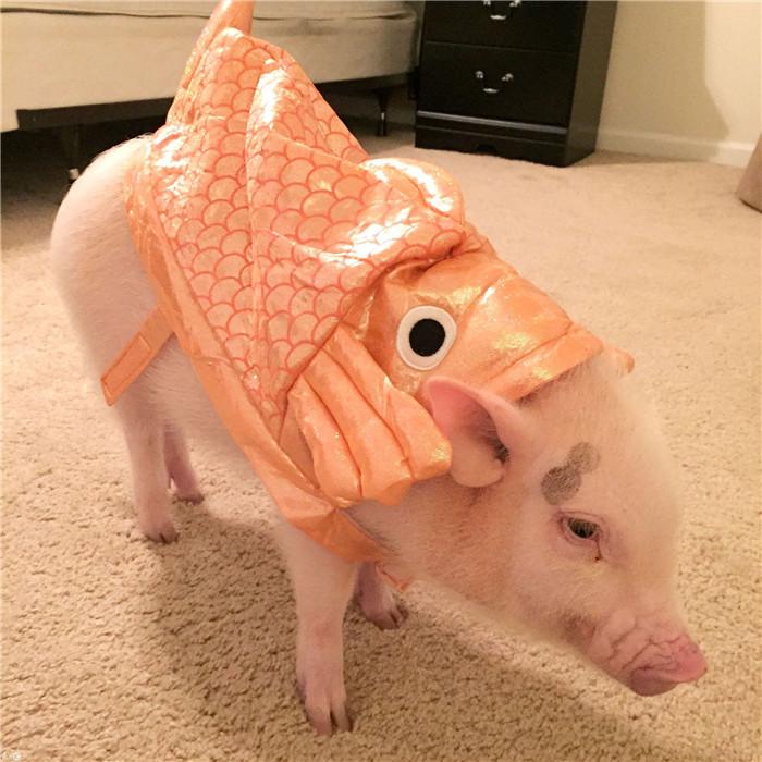 真是逆天了,这只迷你猪居然成了网红!