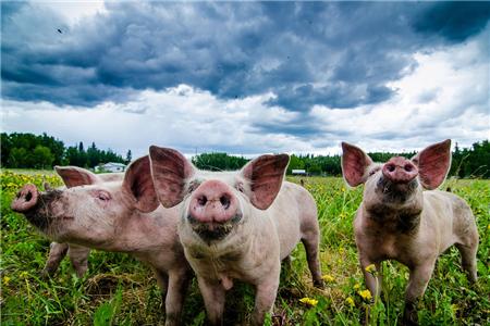农业部发布最新存栏数据、大型企业猪价趋势变化