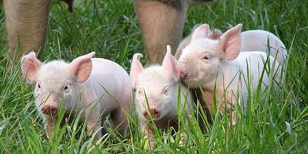 屠企长时间压价 猪价反复波动 初现回升迹象?