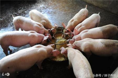 猪场养猪丢掉利润的5个细节,新手养猪人不能不知道
