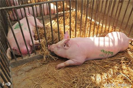 如何建合格的猪场?哪些猪舍规划是必备的?你知道吗