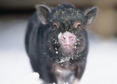 2018年1月19日(20至30公斤)仔猪价格行情走势