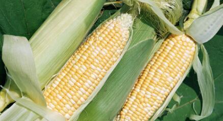 """""""拍卖""""成为玉米市场关注重点  春节前价格能否反攻?"""