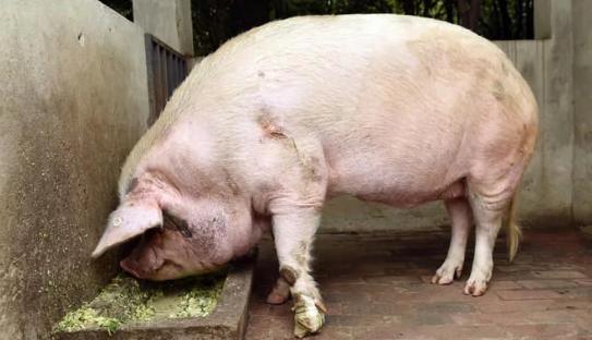 """""""疯狂""""的母猪,撞向屠夫咬伤他的手,救下案上待宰公猪"""