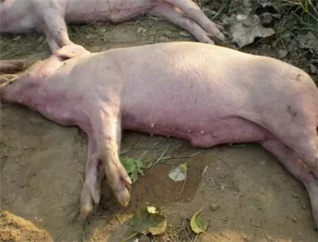 什么是猪软腿病?猪软腿病怎么防治?