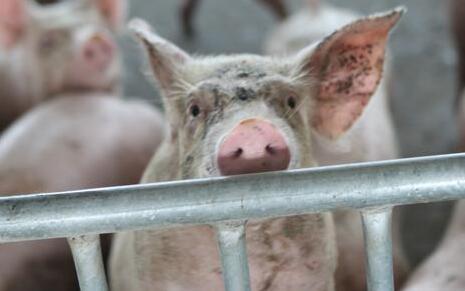 猪价近期止跌?猪价走势分析!年前迎来小高峰?