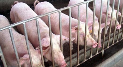 """中国养猪业 饲料企业与养猪户之间的""""信""""与""""赊"""""""