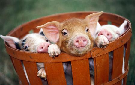 养殖户可适当进行补栏仔猪 生猪均价破8的可能性不大