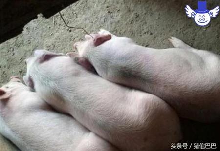 不同功能猪舍所处的方位也是有很大讲究的,保育舍尤其应该注意