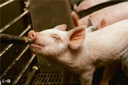 猪流行性腹泻的防治要点!一学就会!