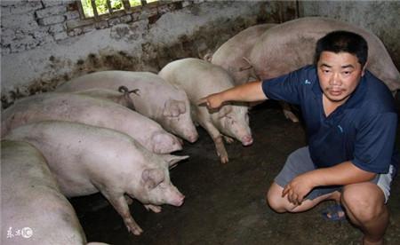 让猪群提前出栏 养猪户朋友你知道关键吗?