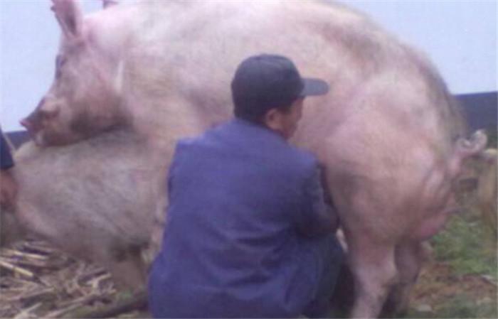 农村老汉用一头猪养活全家,一年下来走烂几双鞋