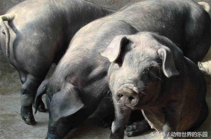 东三省的骄傲:东北民猪,东北地区古老猪种,世界猪品种排行第四
