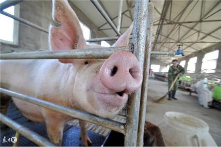 养猪的你怎样有效搞好猪舍清洁呢?这样做事半功倍!