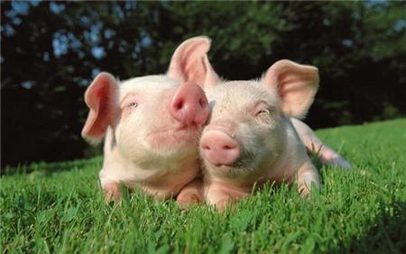 春天是养猪的好季节,那么怎么养才能赚钱?