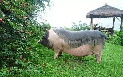 这几种菜竟然是喂猪的好东西,千万别再当烂菜给扔了!