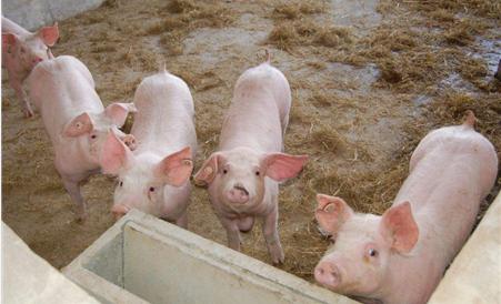 生猪价格涨势难现 消化库存的同时适当补栏仔猪没坏处