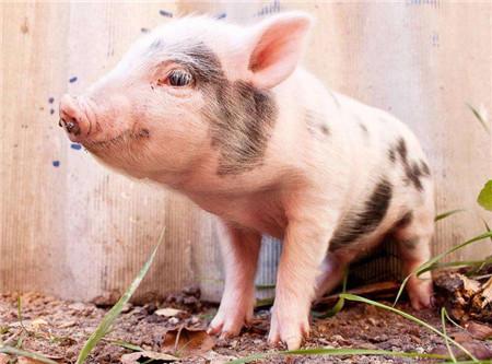 生猪价格亮出三大利剑,2018年猪价不过分悲观