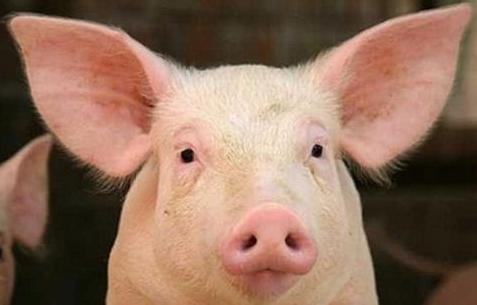日本:猪体特定基因的变异会导致猪更易感染禽流感