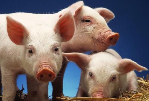 满满干货来袭 试论我国猪育种实践中的关键问题