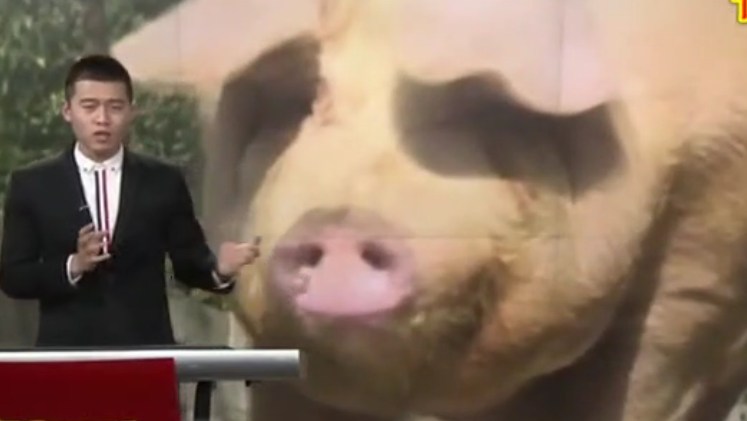 广西岑溪 养猪养出千斤猪王 主人如获至宝