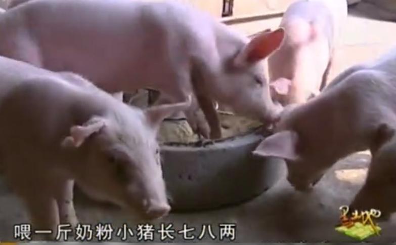 """农村养殖大叔""""教你""""科学养猪,从小就开始喂牛奶省钱省食料!"""