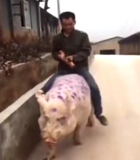 搞笑视频:骑着猪去相亲,爆笑