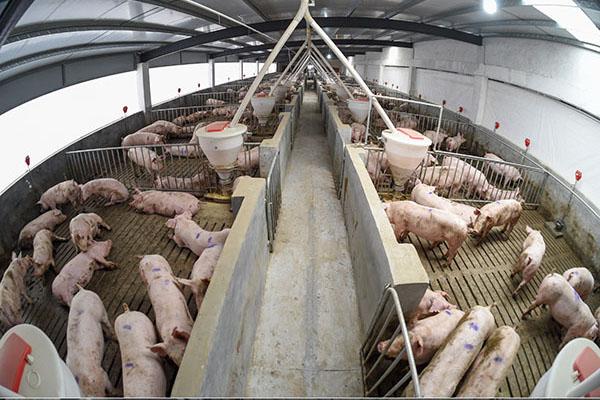 新型发酵床养殖模式,楼上养猪,楼下发酵有机肥