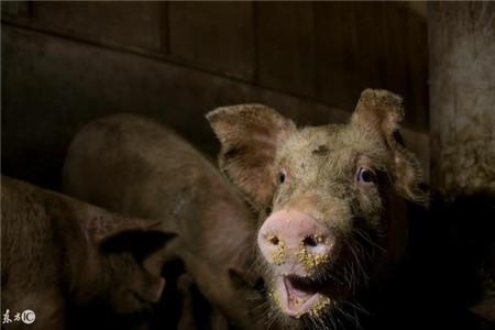 听到猪咳嗽,你知道是什么病吗?