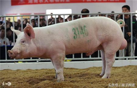 猪场养猪人教给如何采精,想要猪场扩大规模这个技术要学会