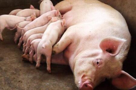 哺乳期母猪突然回奶,不用怕,看我半小时内搞定它
