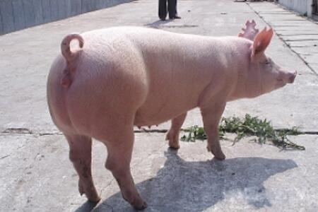 配种时母猪突然嚎叫前冲大量流血,咋回事?