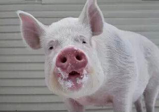 恐雪后跌价 趁此出栏吧 后期猪价难涨破15.50元/公斤