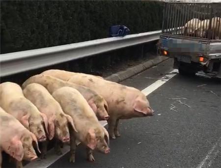 捉猪!捉急!小货车爆胎侧翻,8头肉猪高速公路上乱跑