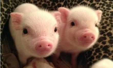 农业部:平均一亩麦地可以承载4头猪的粪肥量
