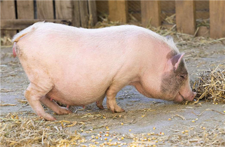 恐怖!养猪已经触及刑法,不是哪都能养