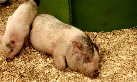 猪场保温:这里有这么多猪场保温的方法,总有一款适合您!
