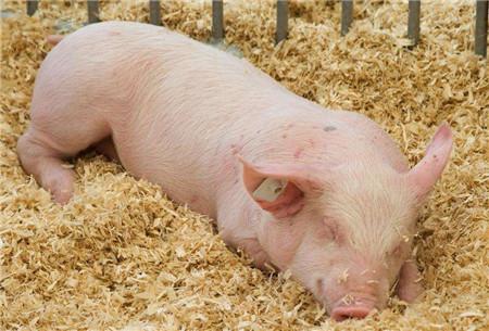 保健养猪—小猪顽固性拉稀,养猪人大剂量猪瘟苗预防,靠谱吗?