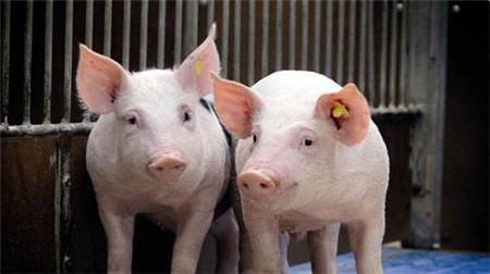 需求旺季开启之时 生猪供应量也稳中有增