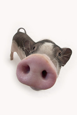 猪眼救了失明人,高达95%成功率,信不信由你