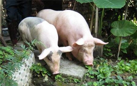保健养猪篇—猪场防寒保暖的同时谨防此病